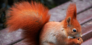 squirrel with copper colored fur